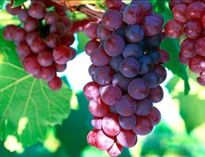 vitis vinifera benefits